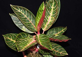 Red Aglaonema Varieties Plants Available : Dieffenbachia ...