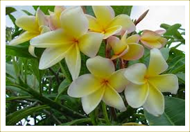Plumeria Plant Is A Very Fragrant And Garden Also Its Common Name Frangipani