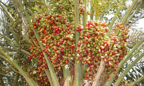 Indian Nursery Khajur Or Date Plants Exporter And