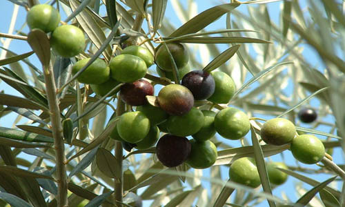 is an olive a fruit fruit trees for sale