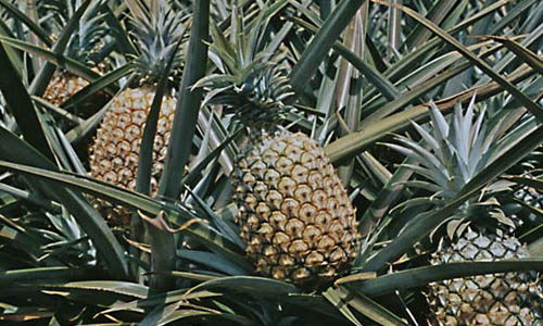 pine apple hindu personals Staff correspondent more demand for pineapple in mangalore cashew  production in the state is not on a par with the demand department is.
