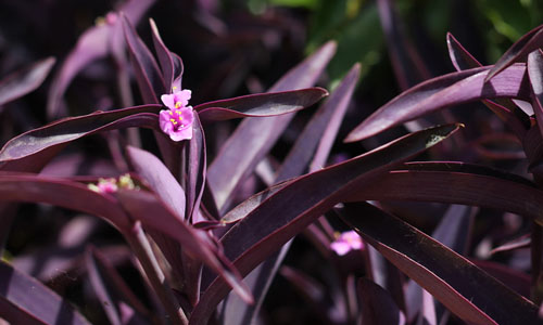 5x Datura purple queen double Engelstrompete Blüten lila B2030