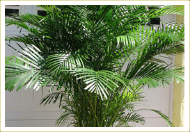 Areca-palm Palm Tree Like House Plant on dragon tree house plant, palm houseplants, dracaena palm house plant, daisy like house plant, palm tree like succulent, majesty palm house plant, sago palm house plant, parlor palm house plant, palm like plant thin leaves, palm tree care house, indoor money tree plant, neanthe bella palm house plant, palm tree guest house barbuda, palm like plants types, ficus tree house plant, pine tree like house plant, palm leaf house plant, palm trees seeds grow, rubber tree plant,