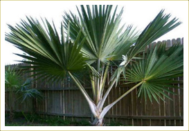 Latania-Palm Palm Tree Types Of Houseplants on types of indoor palms, types of bamboo houseplants, common palm houseplants, types of trees in florida, types of lily houseplants,