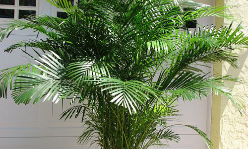 Indian nursery areca palm exporter seller and supplier for Pictures of areca palm plants